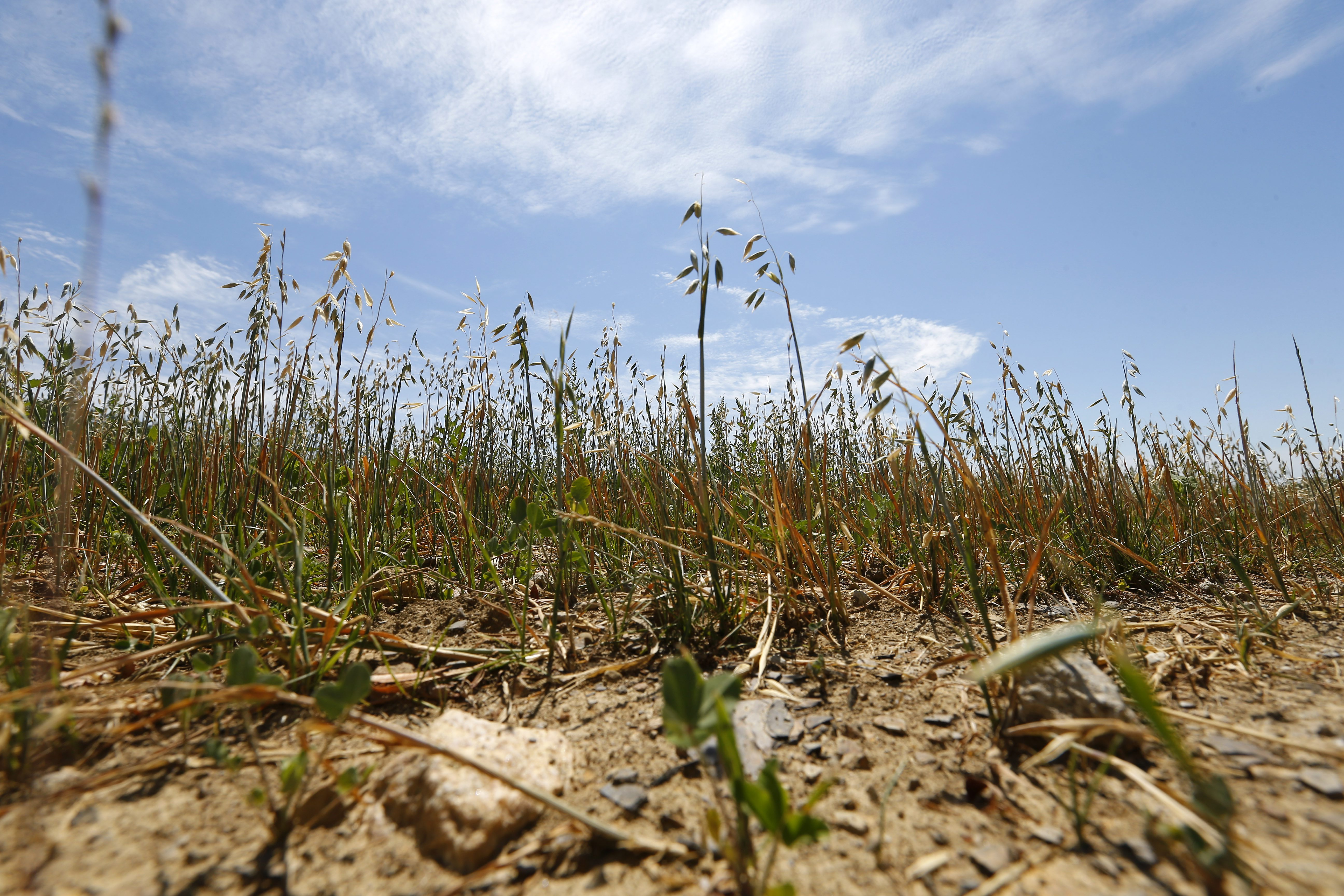 Parched soil of alfalfa, oats and clover at Mammoser Farms in Eden Wednesday.  (Mark Mulville/Buffalo News)