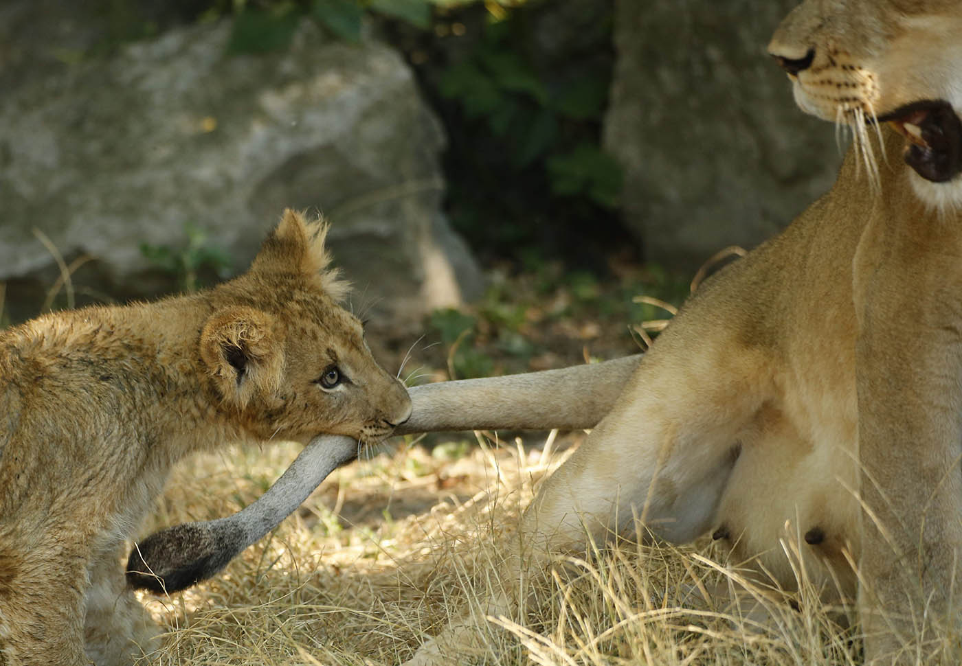 One of three new lion cubs, born May 12, gives a tug on the tail of mother Lusaka while playing in their enclosure at the Buffalo Zoo Wednesday, Aug. 3, 2016.  The cubs will be unveiled at the Zoo this Saturday, along with their names, one of which is open for voting on the zoo's website.  (Photo by Derek Gee)