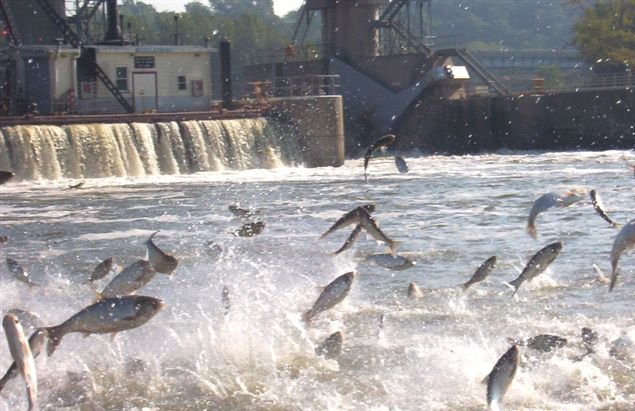 Asian carp flying. (Source; Great Lakes Fishery Commission)