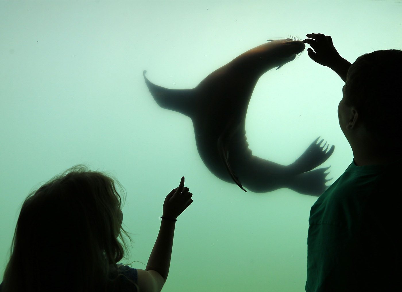 A sea lion follows childrens fingers on the glass of the exhibit at the Buffalo Zoo Thursday, September 1, 2016. (Mark Mulville/Buffalo News)