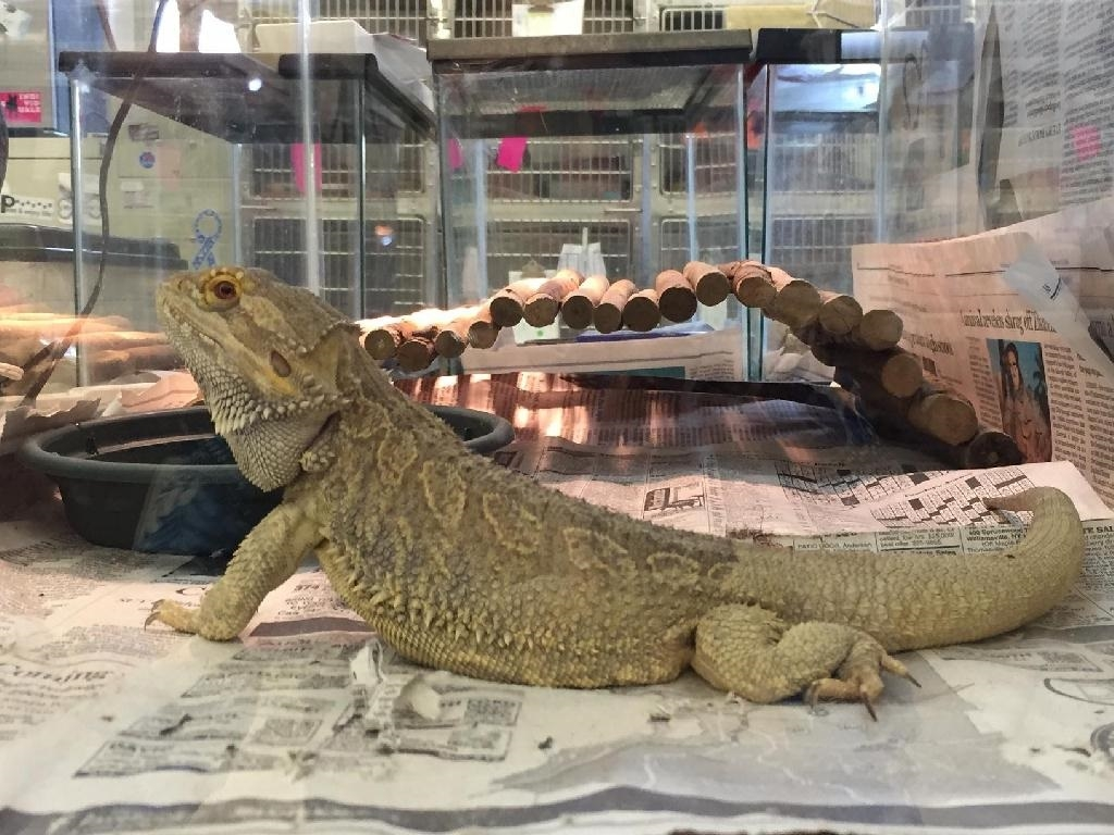A bearded dragon recovered from an East Amherst home last week where animals were living in poor conditions, the SPCA Serving Erie County said. (SPCA Serving Erie County)