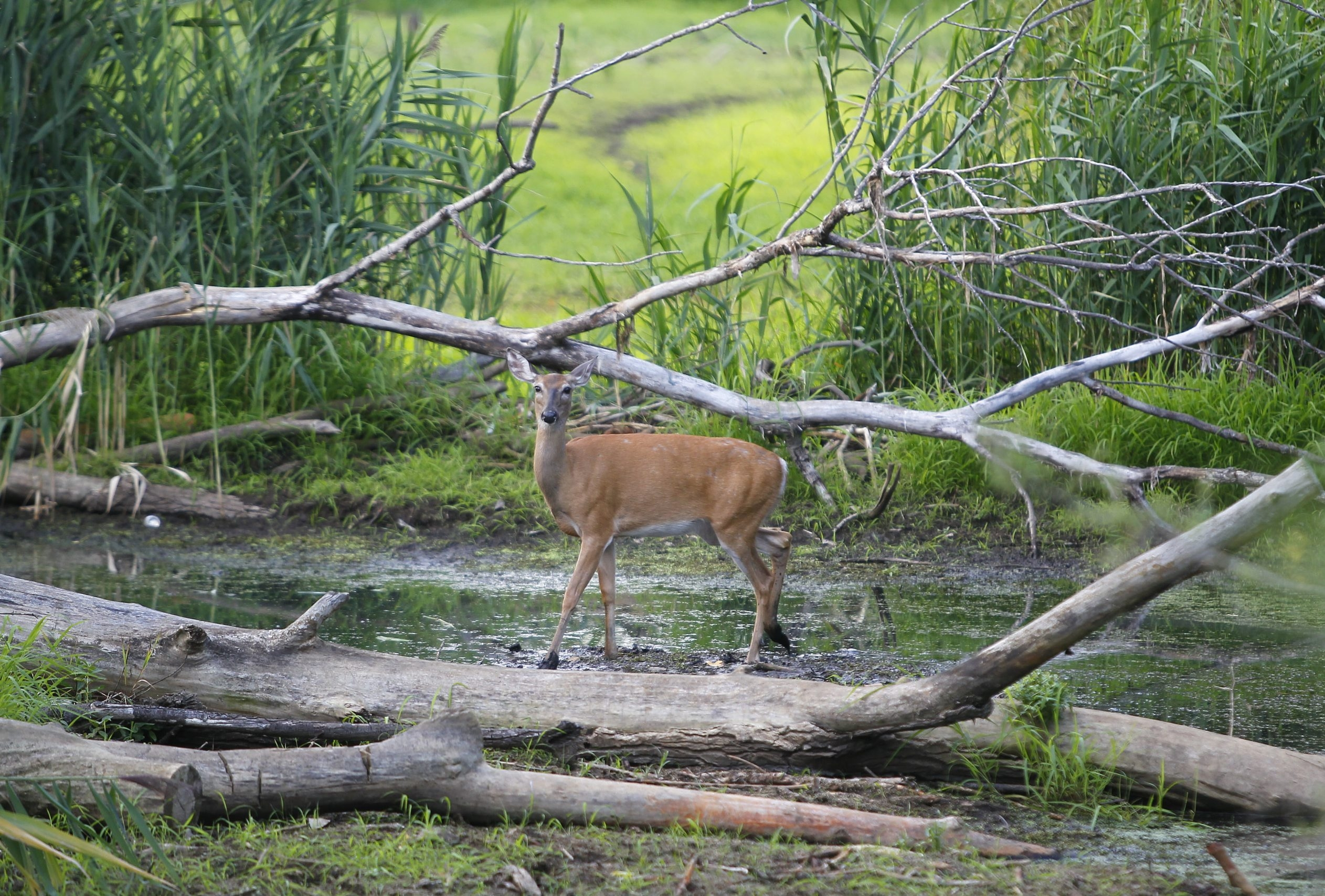 {FOR SPOTLIGHT STORY}A whitetailed deer walks through the Tifft Nature Preserve Monday, August 20, 2012.  {Mark Mulville / Buffalo News}