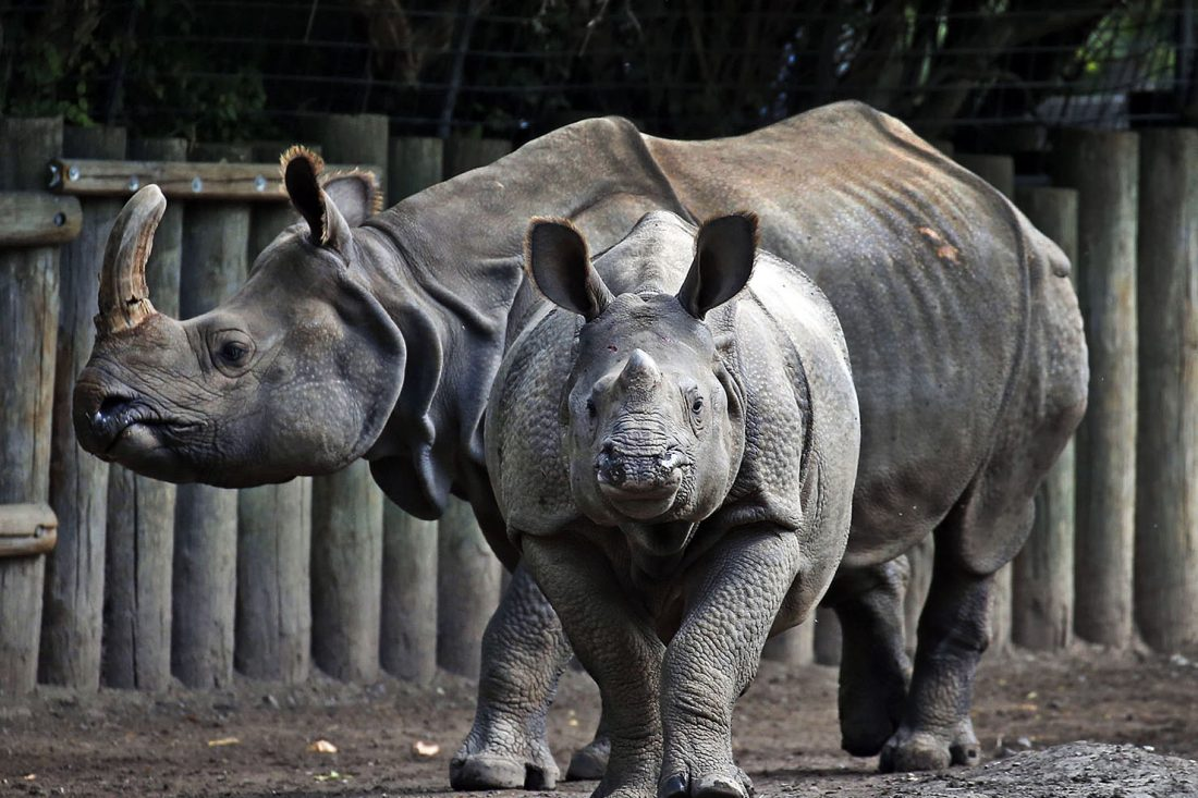 Buffalo Zoo's miracle baby rhi...