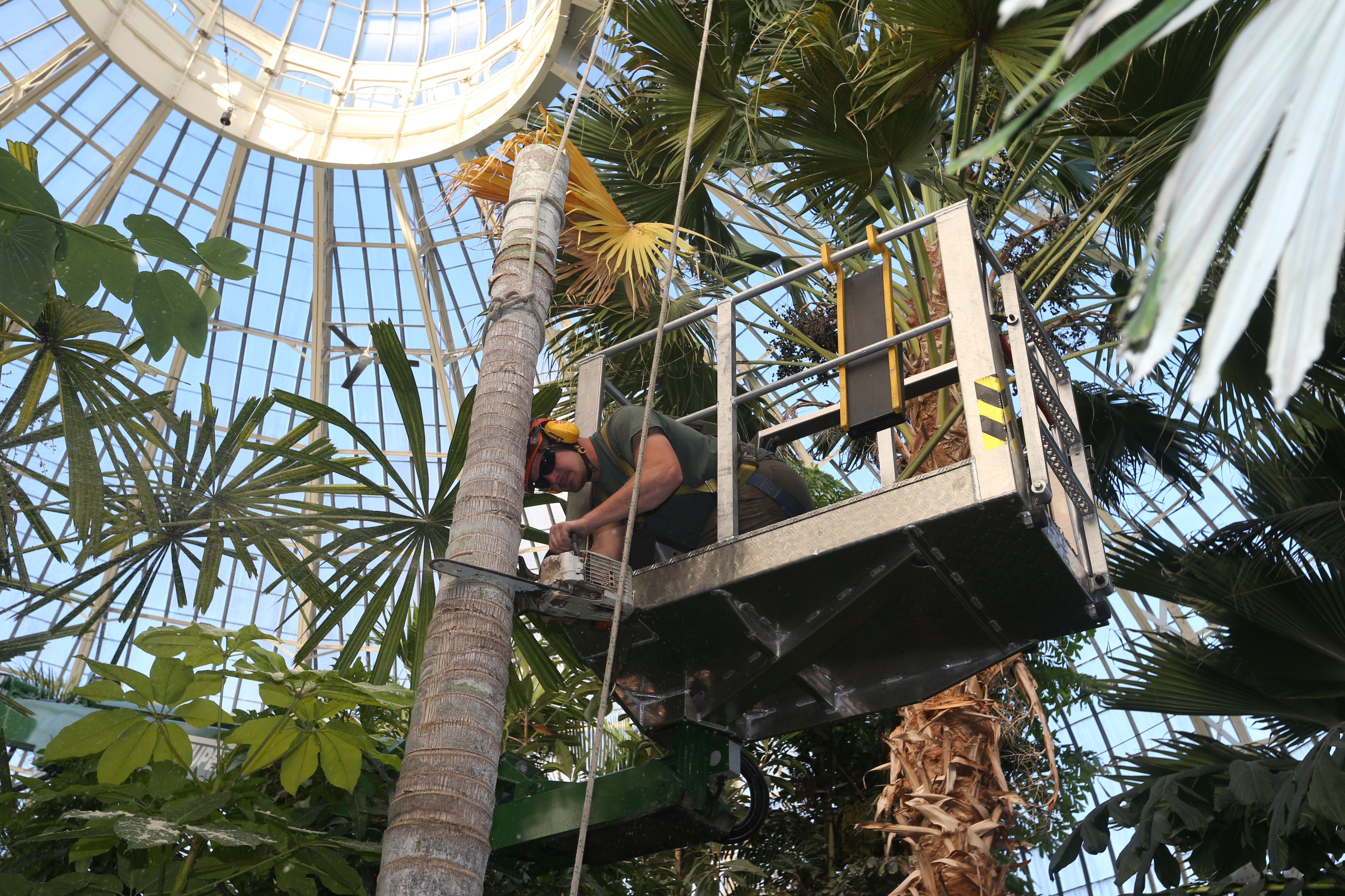 Above & Beyond Tree Expert Company's Jesse Hrycik works on cutting and removing a Palm Tree at the Buffalo and Erie County Botanical Gardens in Buffalo.  (John Hickey/Buffalo News)