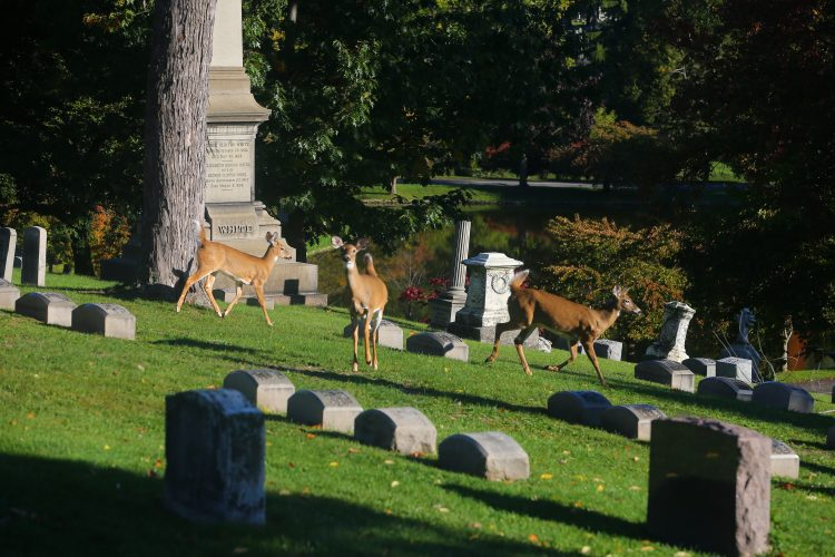 A few of the resident deer at Forest Lawn Cemetery.  (John Hickey/Buffalo News file photo)