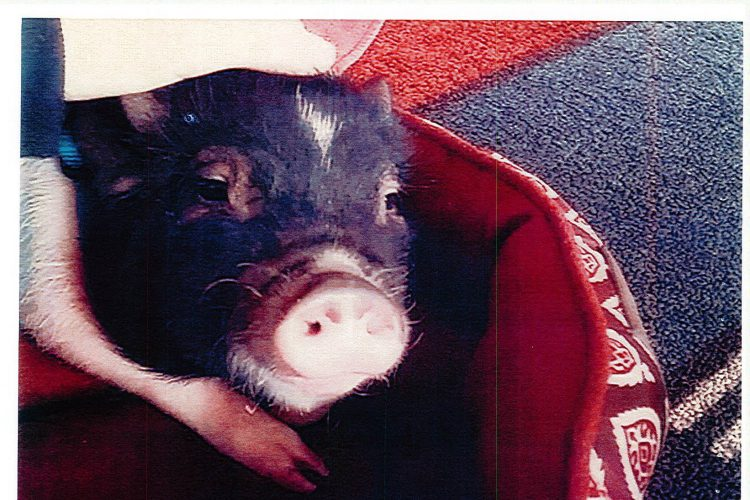 Amherst woman battling town to keep pig as pet