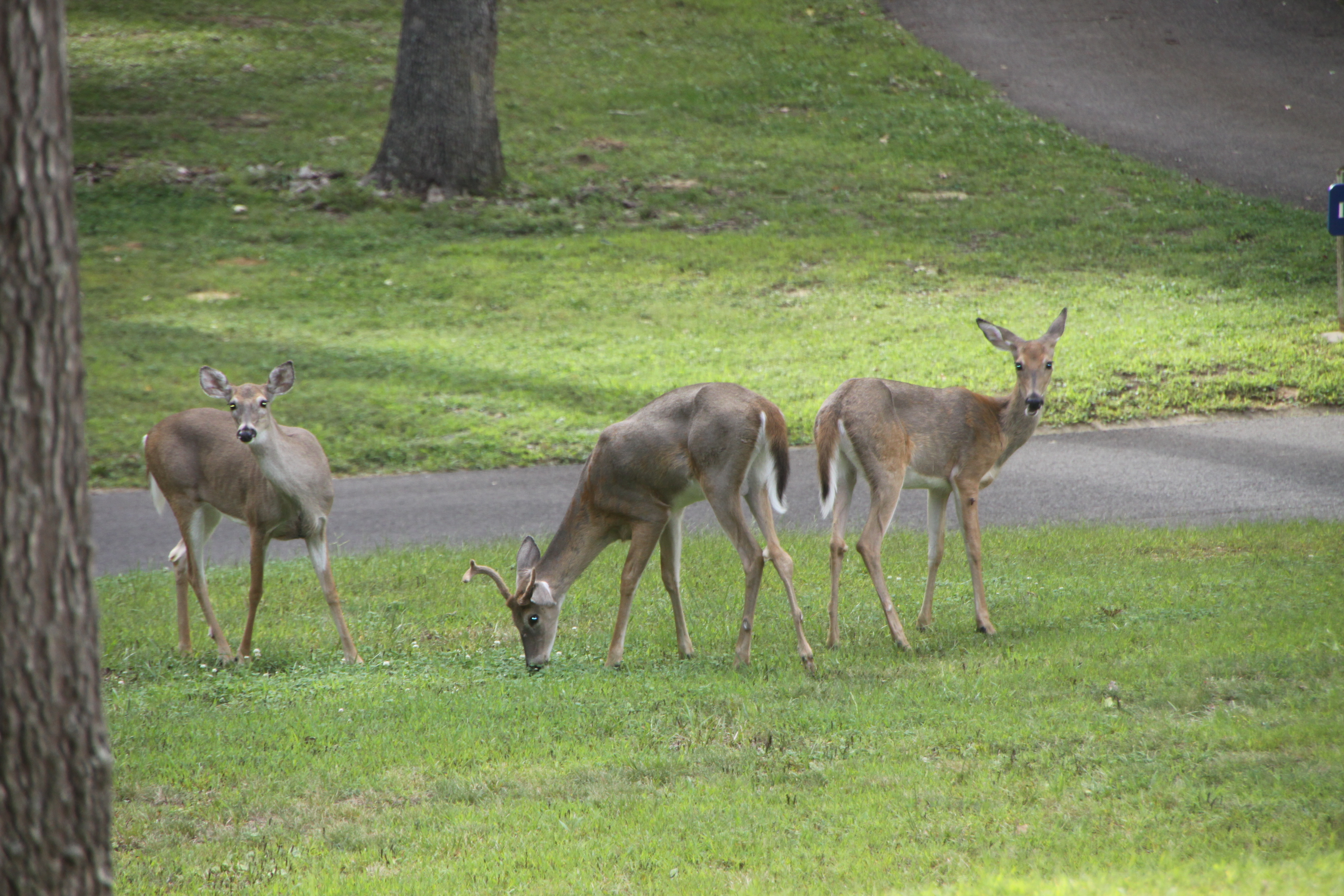When does go into estrus, the bucks go crazy – the rut is on!