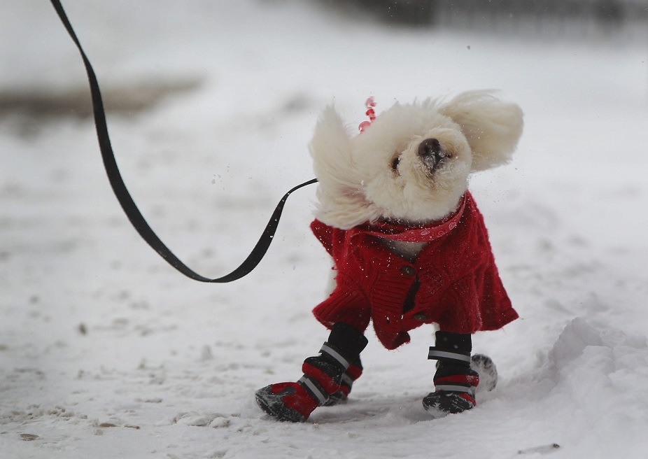 Teddy shakes off the snow and takes a walk with her owner Joe Moore on Perry Street in Buffalo. (Mark Mulville/Buffalo News file photo)