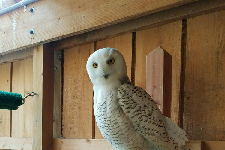 Injured snowy owl recovers from broken wing