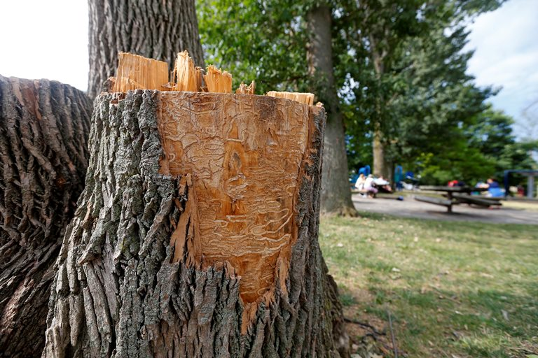 Ash tree at Shoshone Park shows the telltale marks of emerald ash borer infestation. Hundreds of thousands of trees across Western New York have been infected. (Mark Mulville/Buffalo News)