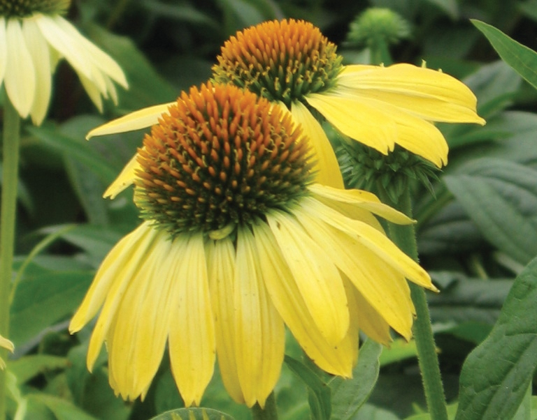 The Big Sky 'Sunrise' coneflower grows 30 to 36 inches tall. (Photo from Proven Winners).