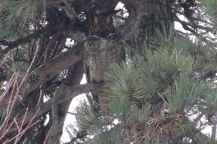 What killed Forest Lawn's Great Horned Owl? Not what you think