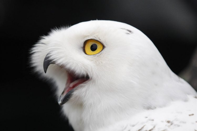 The snowy owl gets released