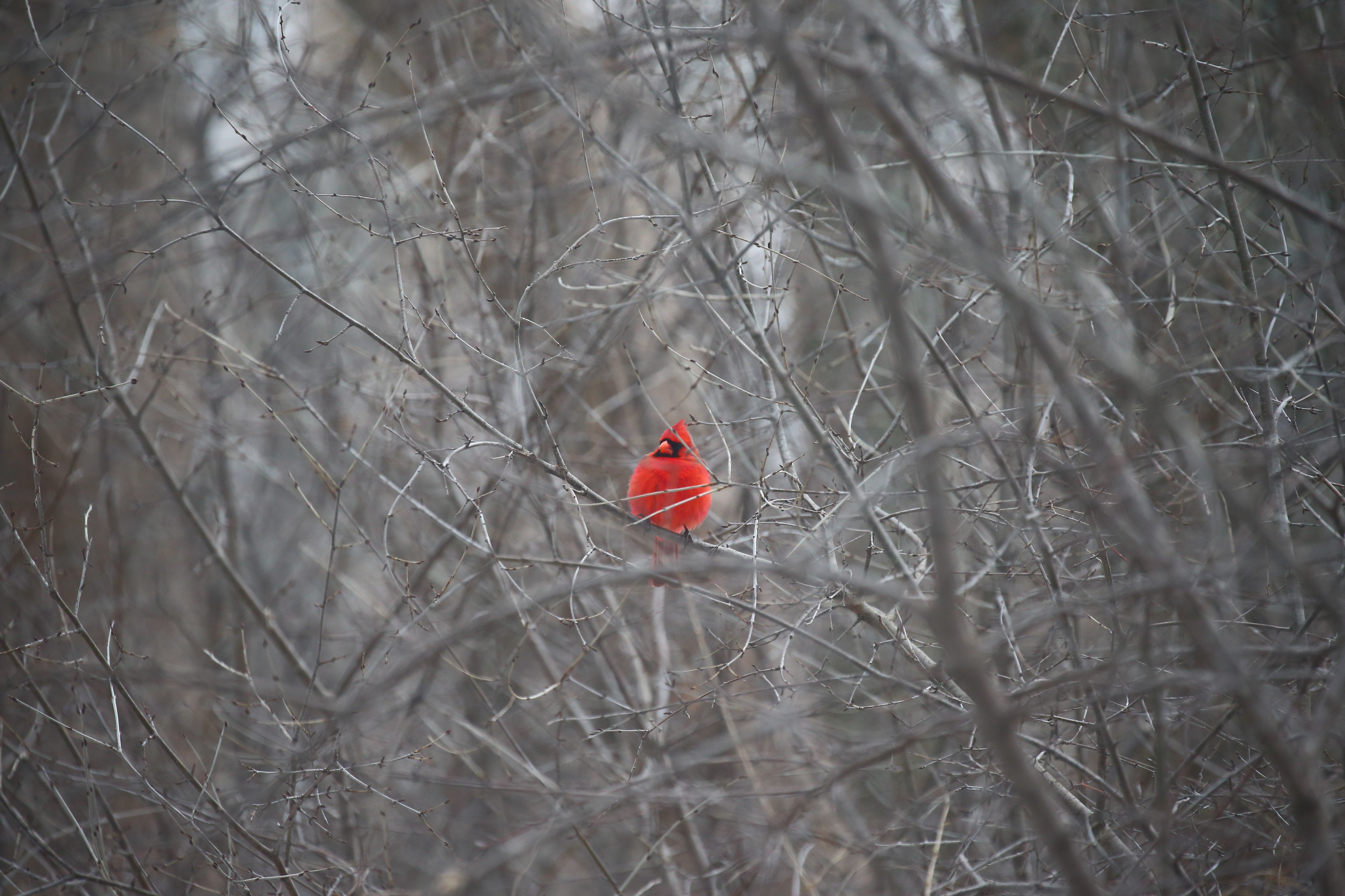 A bright red cardinal stands out among the leafless trees at Tifft Nature Preserve in Buffalo on March 20. (John Hickey/News file photo)