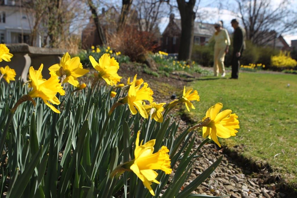The daffodils were blooming at least two weeks early, according to Anne K. Offermann who had hundreds of daffodils at her home on Woodbridge Ave. in the Central Park neighborhood in Buffalo, March 21, 2012. (Sharon Cantillon/News file photo)