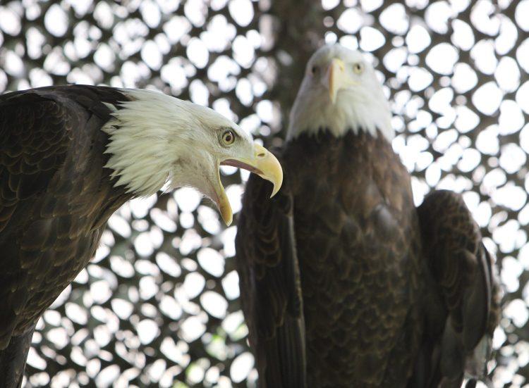 Get face to face with a bald eagle as Hawk Creek Wildlife Center celebrates 30 years. (Sharon Cantillon/Buffalo News)