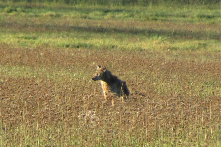 Grand Island coyote-trapping debate is over, but the coyotes remain