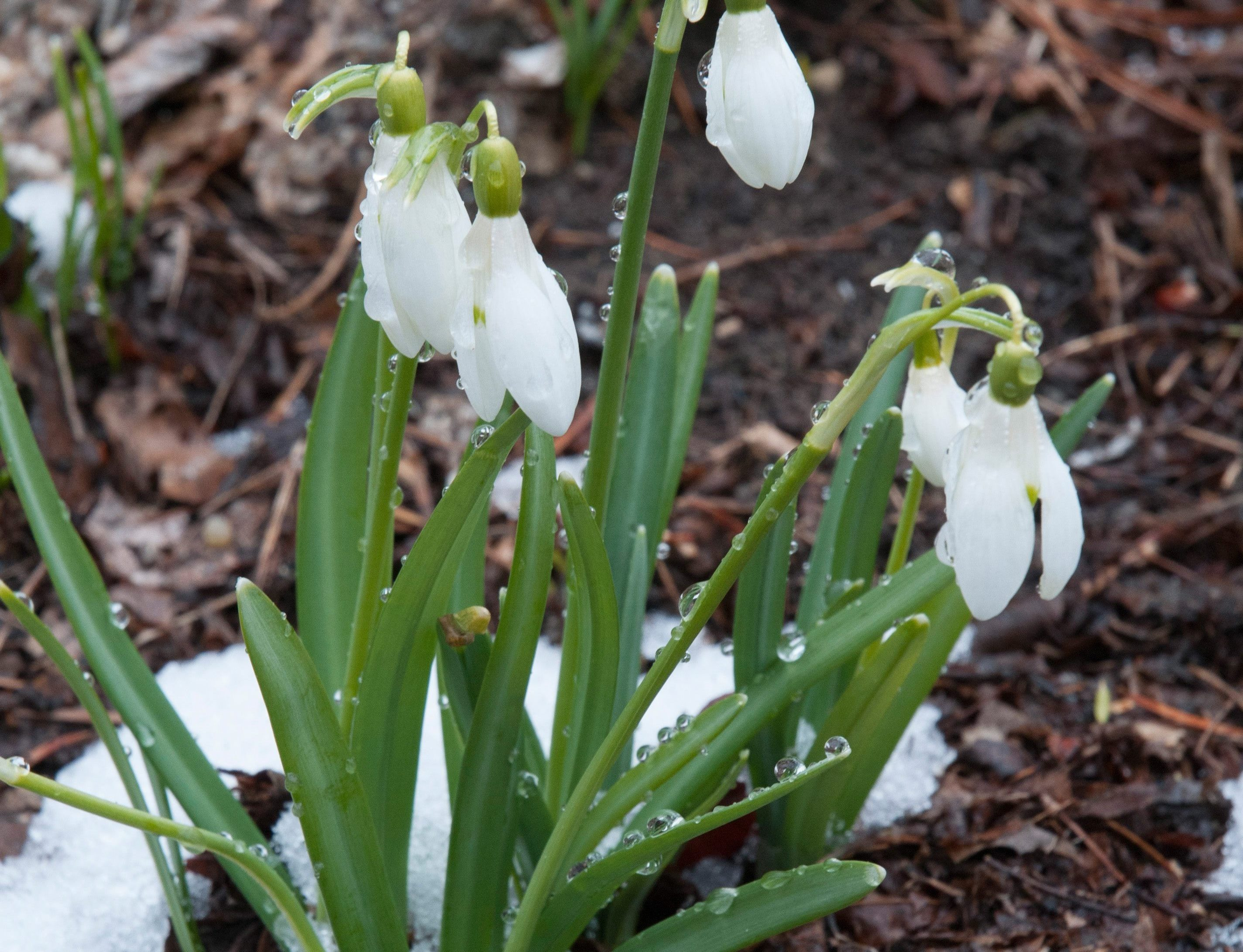 March is a popular month for area garden clubs to install new officers. It's also the month to think spring. Above: Snowdrops are among the first flowers to bloom. Photo courtesy Colorblends.com.