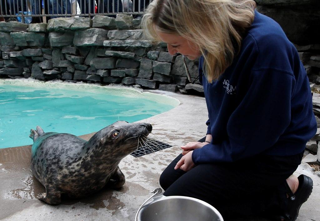 Rescued 2-year-old grey seal Medusa with  Tammy Weber, Aquarium of Niagara assistant supervisor of marine mammal care. (Sharon Cantillon/Buffalo News)