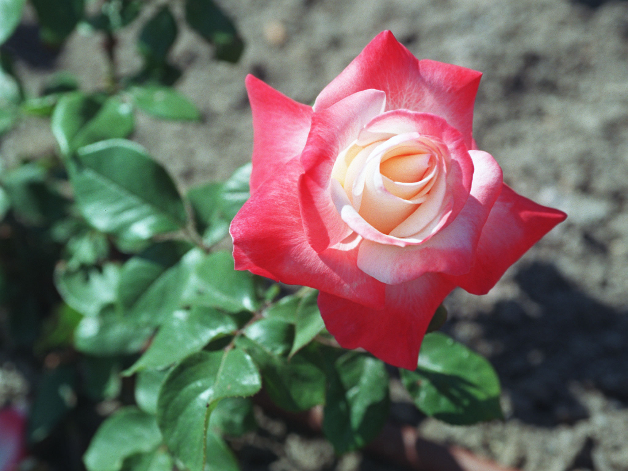 Roses will be the topic at the April 26 meeting of the Amherst Garden Club. (News file photo/Sharon Cantillon)