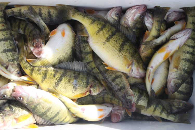 Spring perch tips from the pros (and those in the know)