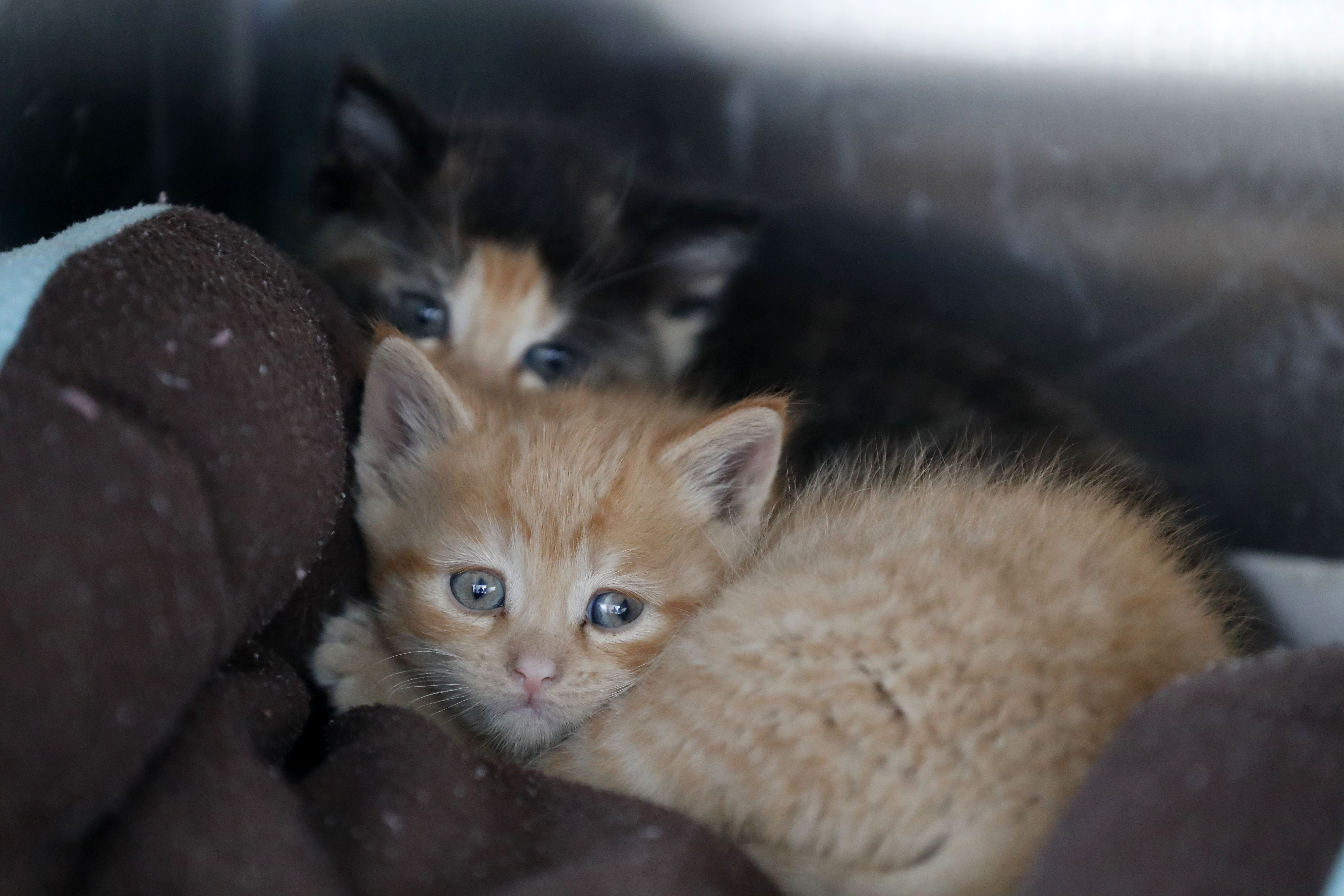 Two stray kittens snuggle together at the SPCA's new headquarters in West Seneca in April.       (Mark Mulville/Buffalo News)