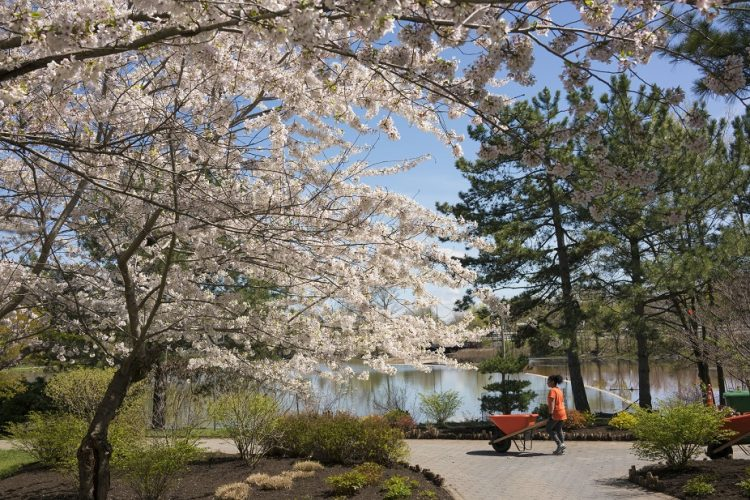 Plastered in pink petals, Buffalo Cherry Blossom Festival opens this weekend