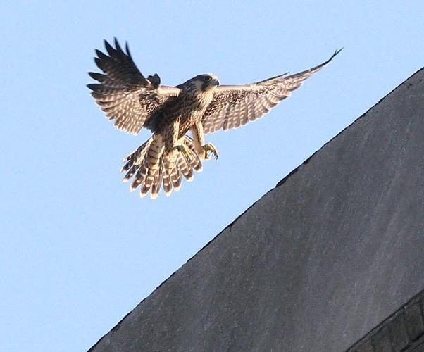 What will happen to falcons' high-rise perch if Central Terminal is restored?