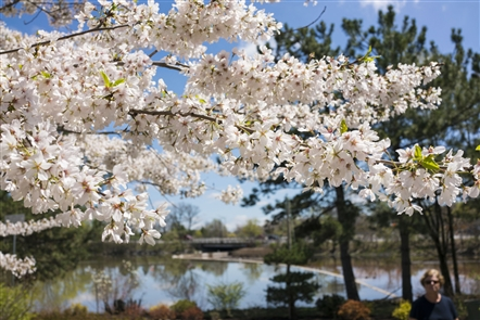 Cherry Blossoms are ready for their close-up