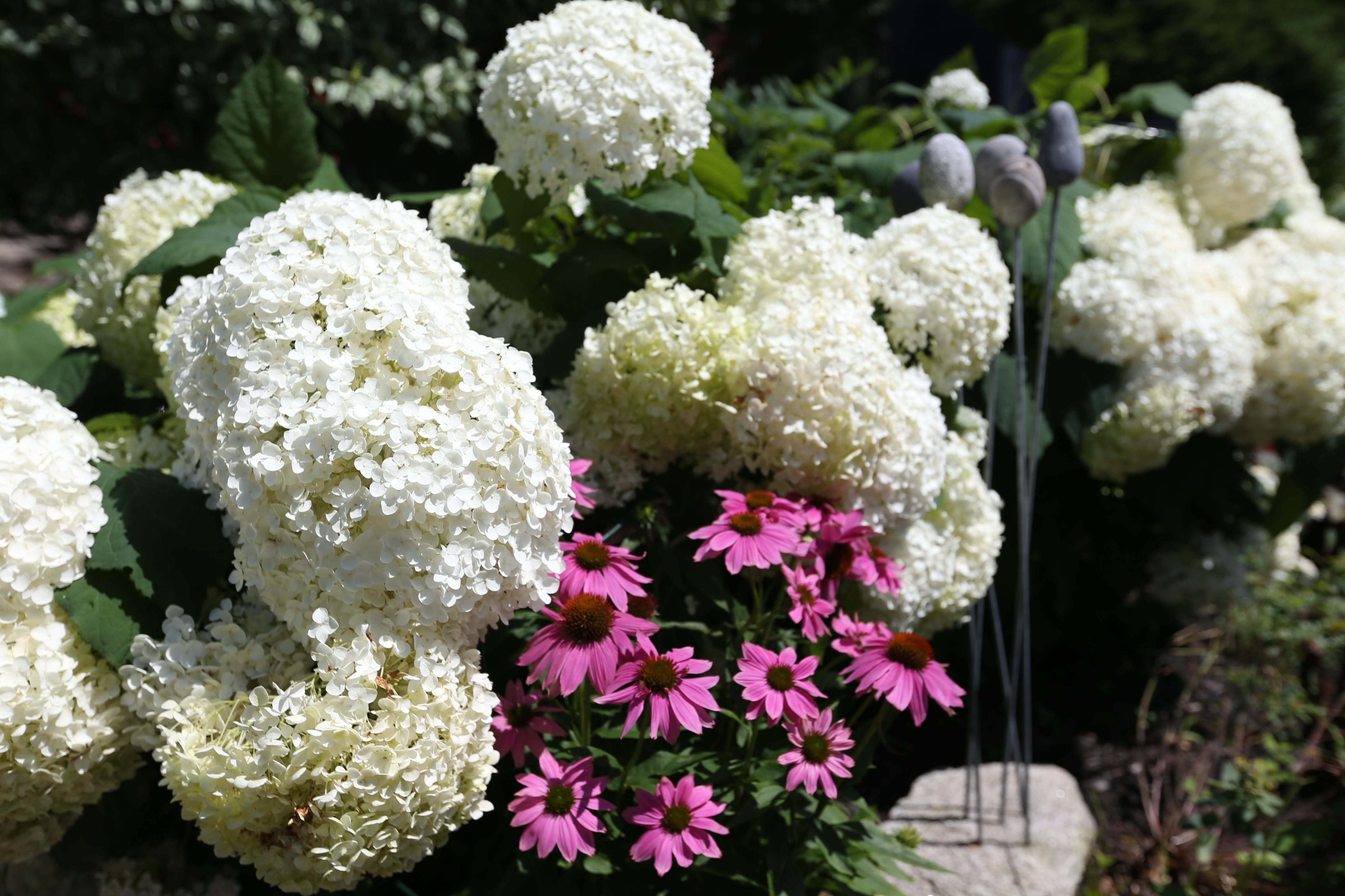 Hydrangeas will be the topic at the April 11 meeting of the Kenmore Garden Club. (Sharon Cantillon/Buffalo News file photo)
