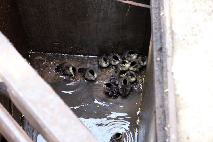 Lockport firefighters rescue 14 ducklings and, yes, there's a video
