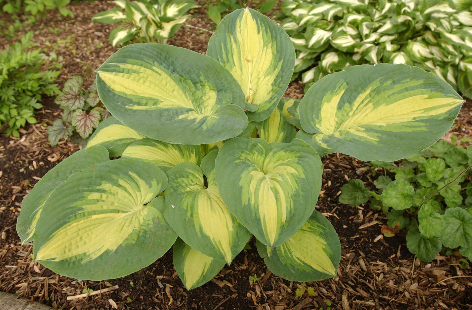 Hostas will be the topic at the May 8 meeting of the Cheektowaga Garden Club. (Sharon Cantillon/Buffalo News file photo).