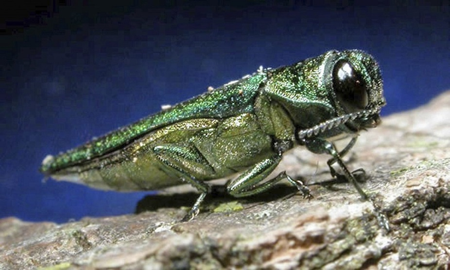 In an undated handout photo, an adult emerald ash borer, the invasive Asian beetle devastating ash trees across North America. (Minnesota Department of Natural Resources via The New York Times)
