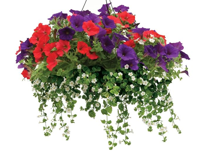 It's time for planting or buying pretty hanging baskets. Photo courtesy Proven Winners.