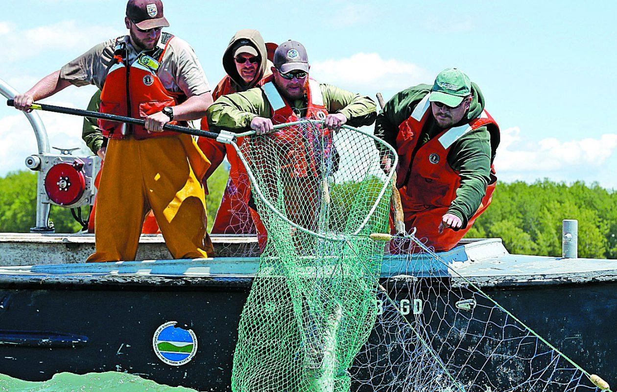 Researchers haul a sturgeon out of Lake Erie.  (Robert Kirkham/Buffalo News)