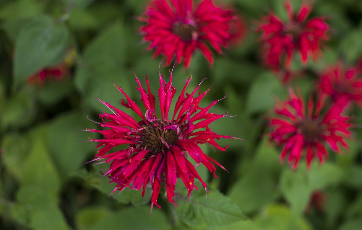 Bee balm in bloom. (Derek Gee/Buffalo News)