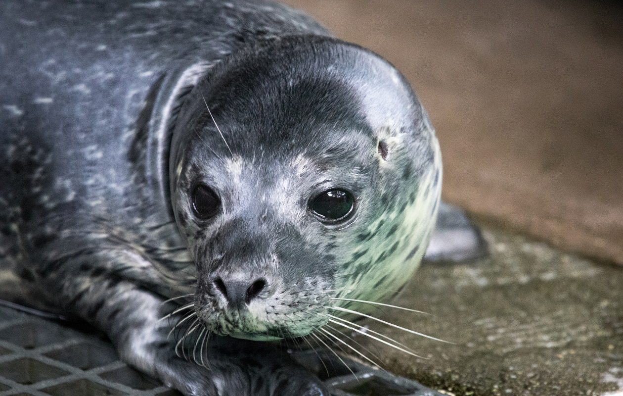 A harbor seal pup was born early Thursday morning at the Aquarium of Niagara. (Photo courtesy of the Aquarium of Niagara)