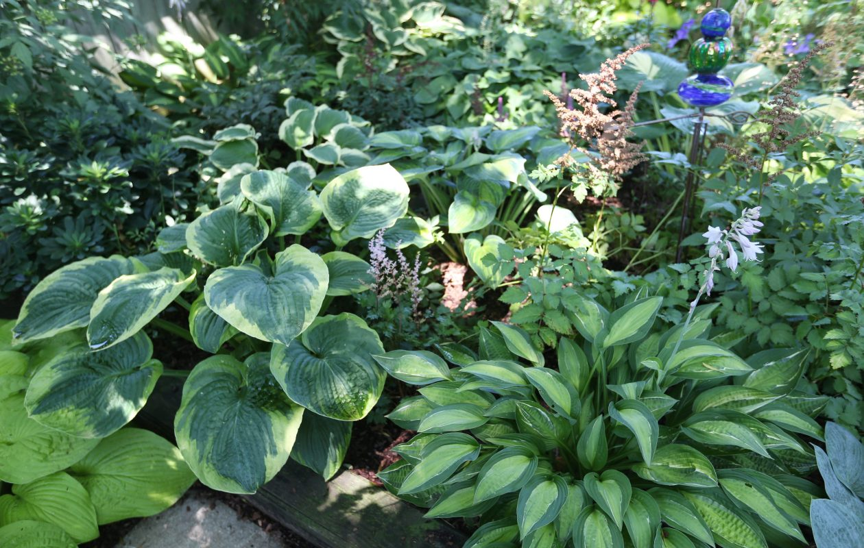 Hostas in local gardens earned praise from the visiting garden writers and photographers. Above, Barb and Gary Whittemore's garden in the Village of Hamburg always offers a wonderful display of them. (Sharon Cantillon/Buffalo News file photo)
