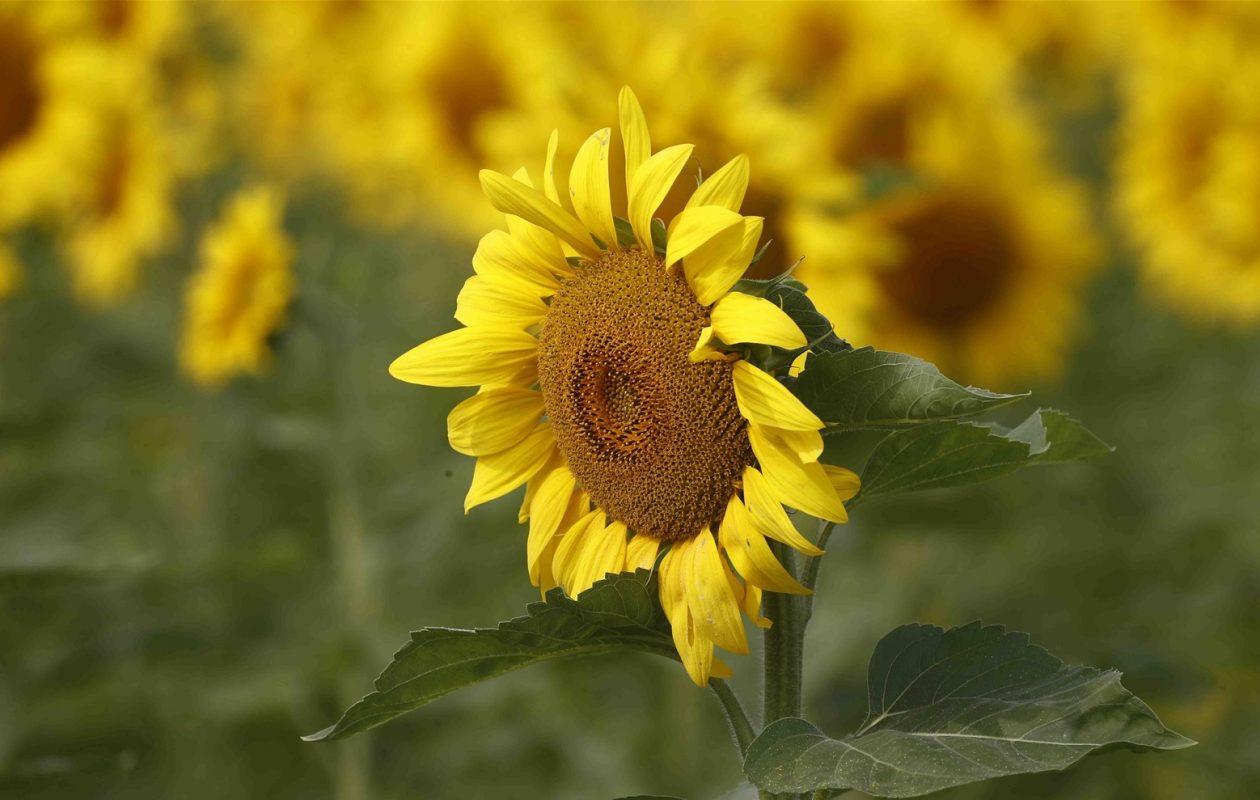 The vibrant sunflower field at the Danielewicz Farm in Sanborn,. (John Hickey/News file photo)