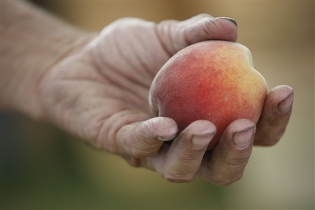 100 Things Plus:  Bite into a juicy Niagara County peach