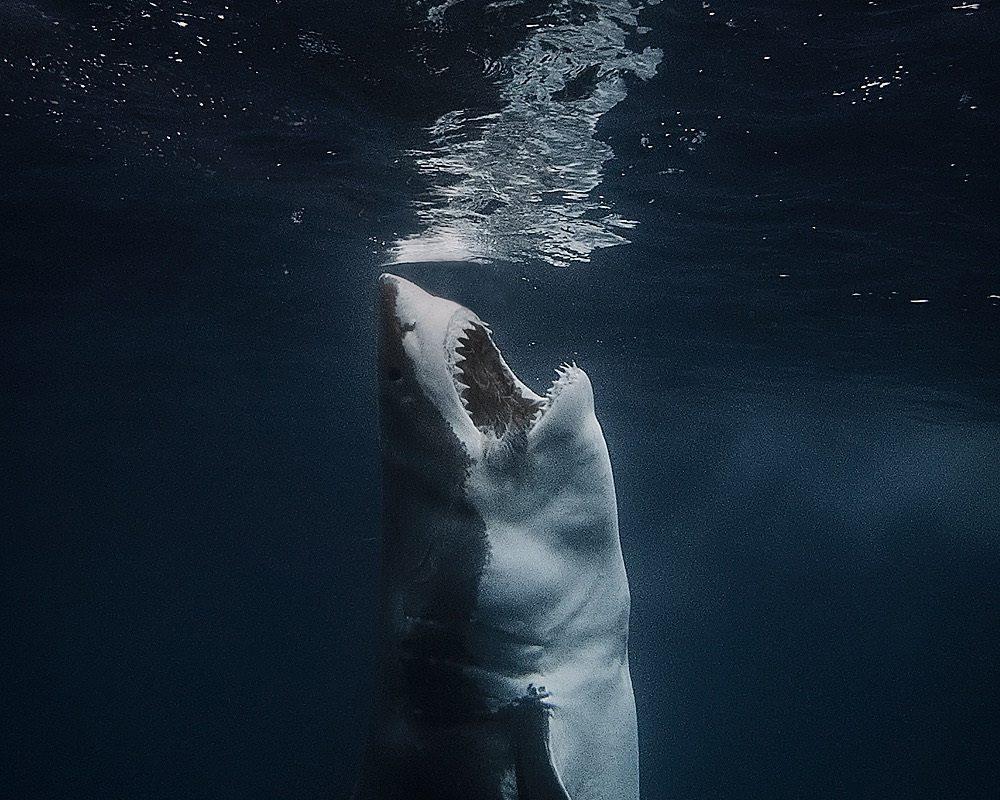 A David Sandford image, great white sharks, Neptune Islands, Australia. (Courtesy David Sandford)