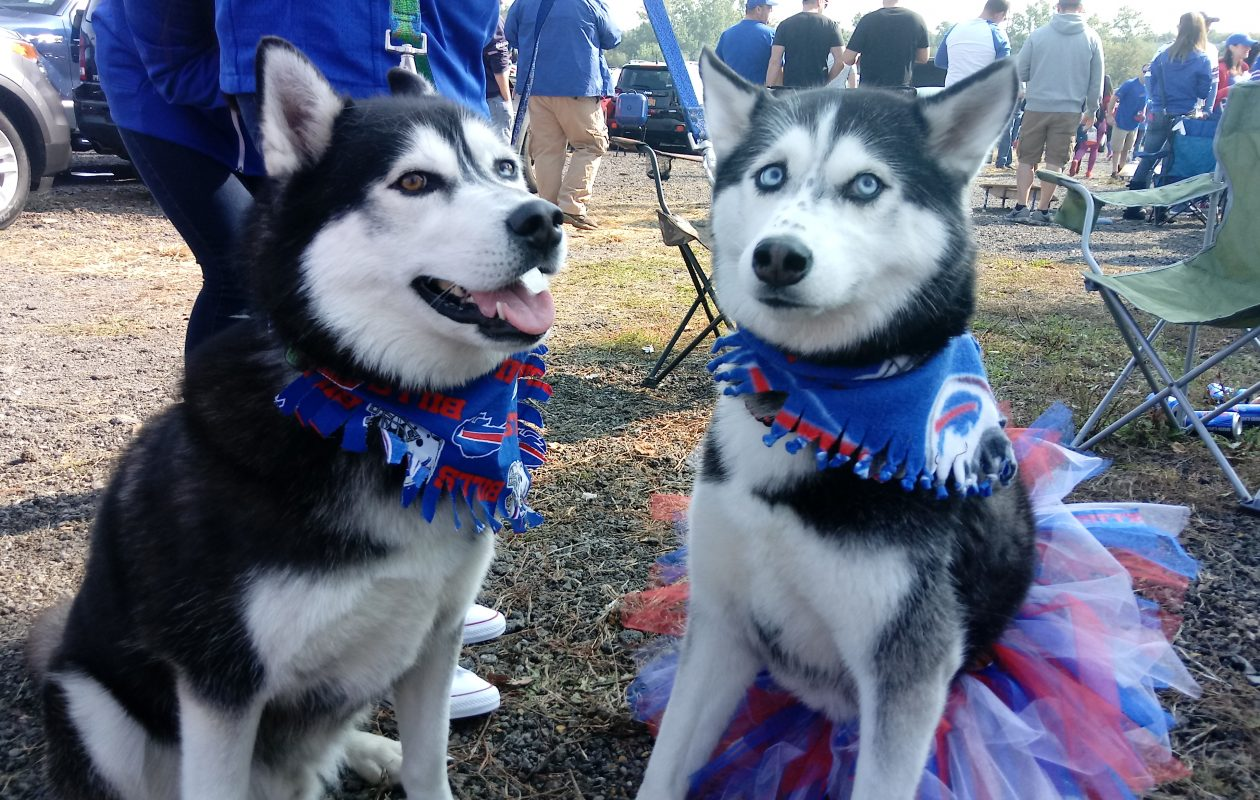 Bills fans Zeus (left) and Stella, two 3-year-old Siberian Huskies. (Luke Hammill/Buffalo News)