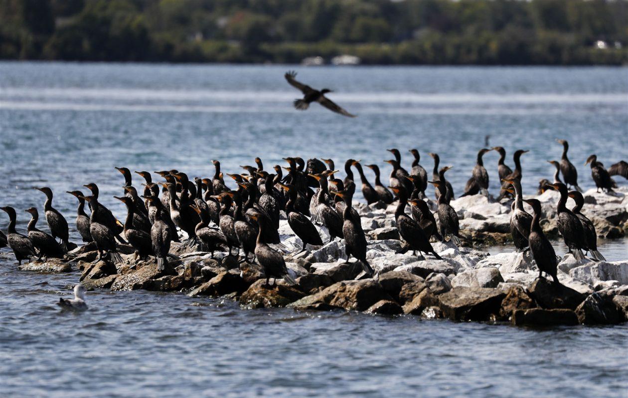Cormorants flock to Frog Island in the Niagara River Monday, Sept. 11, 2017. (Mark Mulville/Buffalo News)