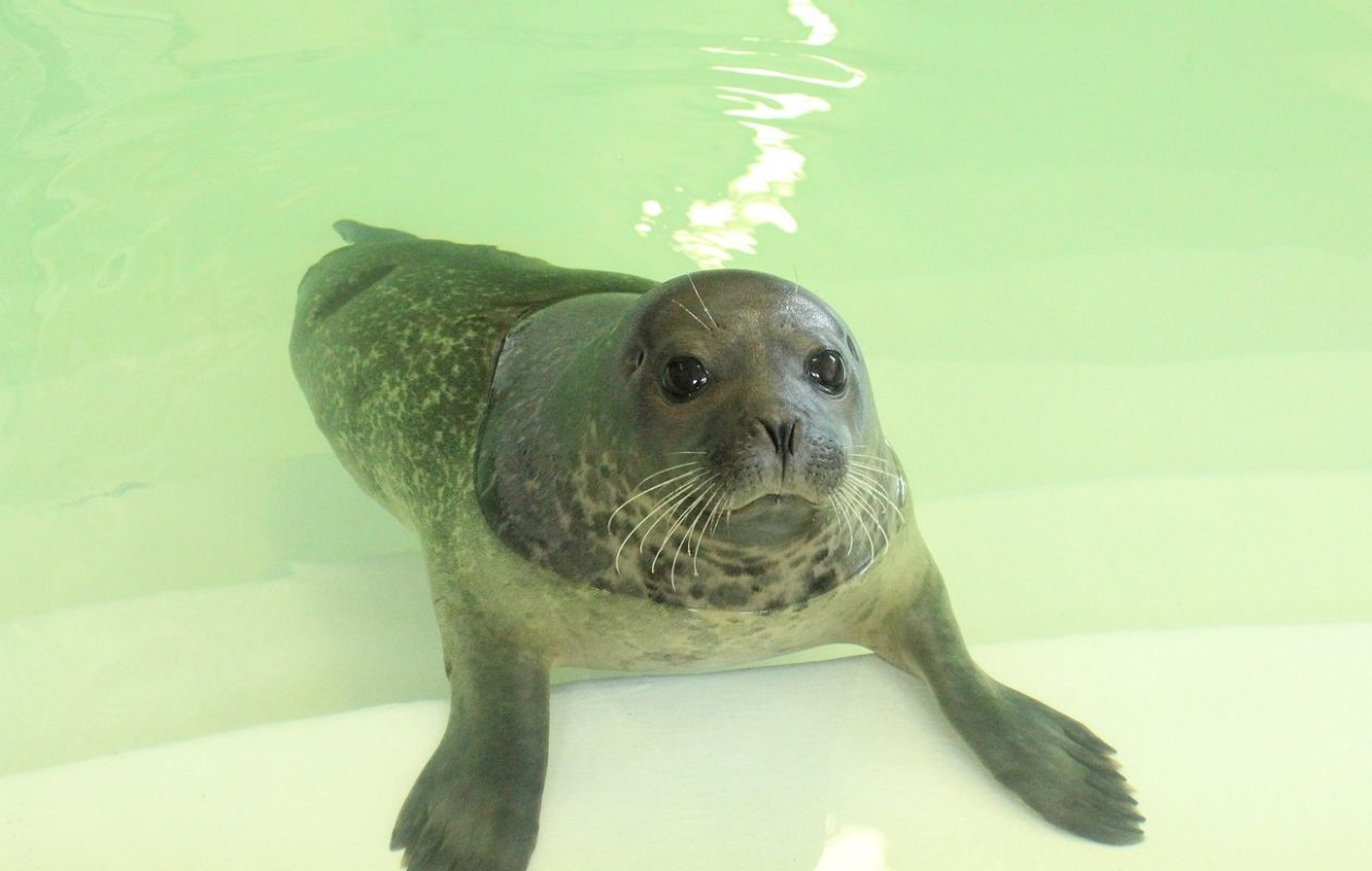 This 1-year-old harbor seal was rescued by the Marine Mammal Stranding Center in New Jersey. (Photo courtesy of Aquarium of Niagara)