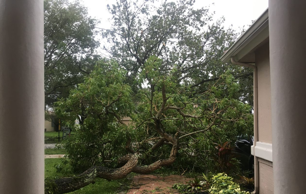 A tree that fell at Alyssa Fisher's family home in Cooper City, Fla. on Sunday, Sept. 10, 2017 during Hurricane Irma. (Alyssa Fisher / special to The Buffalo News)