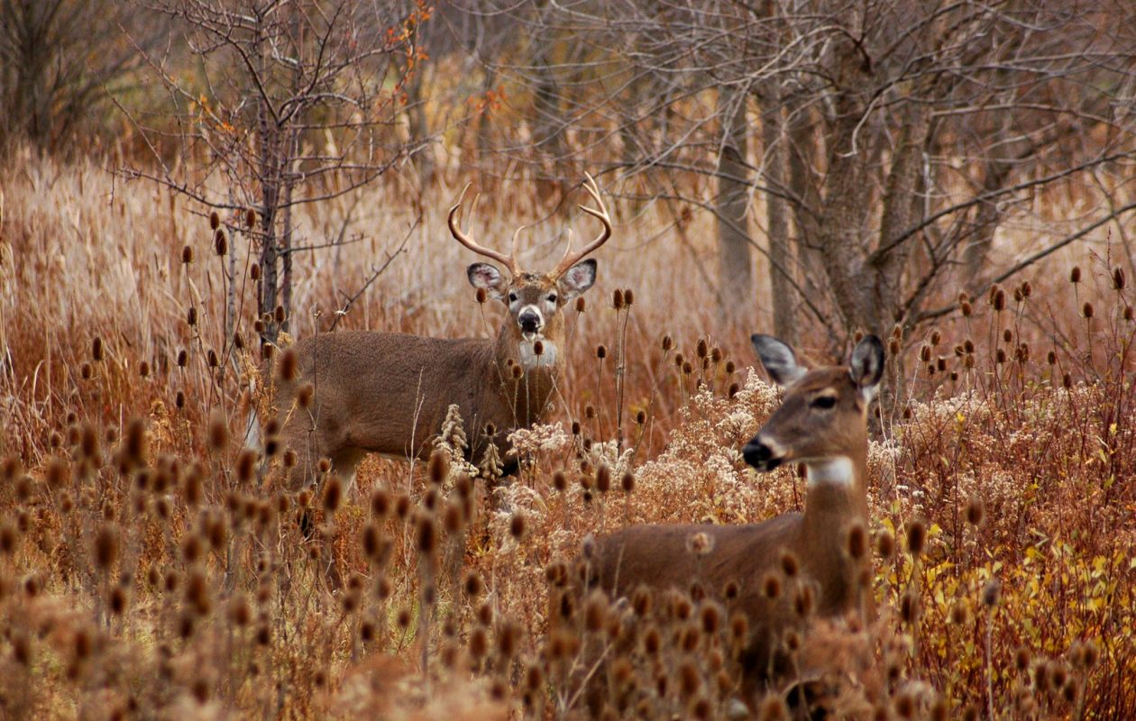 Once the rut kicks in, bucks will be seeking out receptive does – one of the most vulnerable times for deer. (Joel Spring photo)