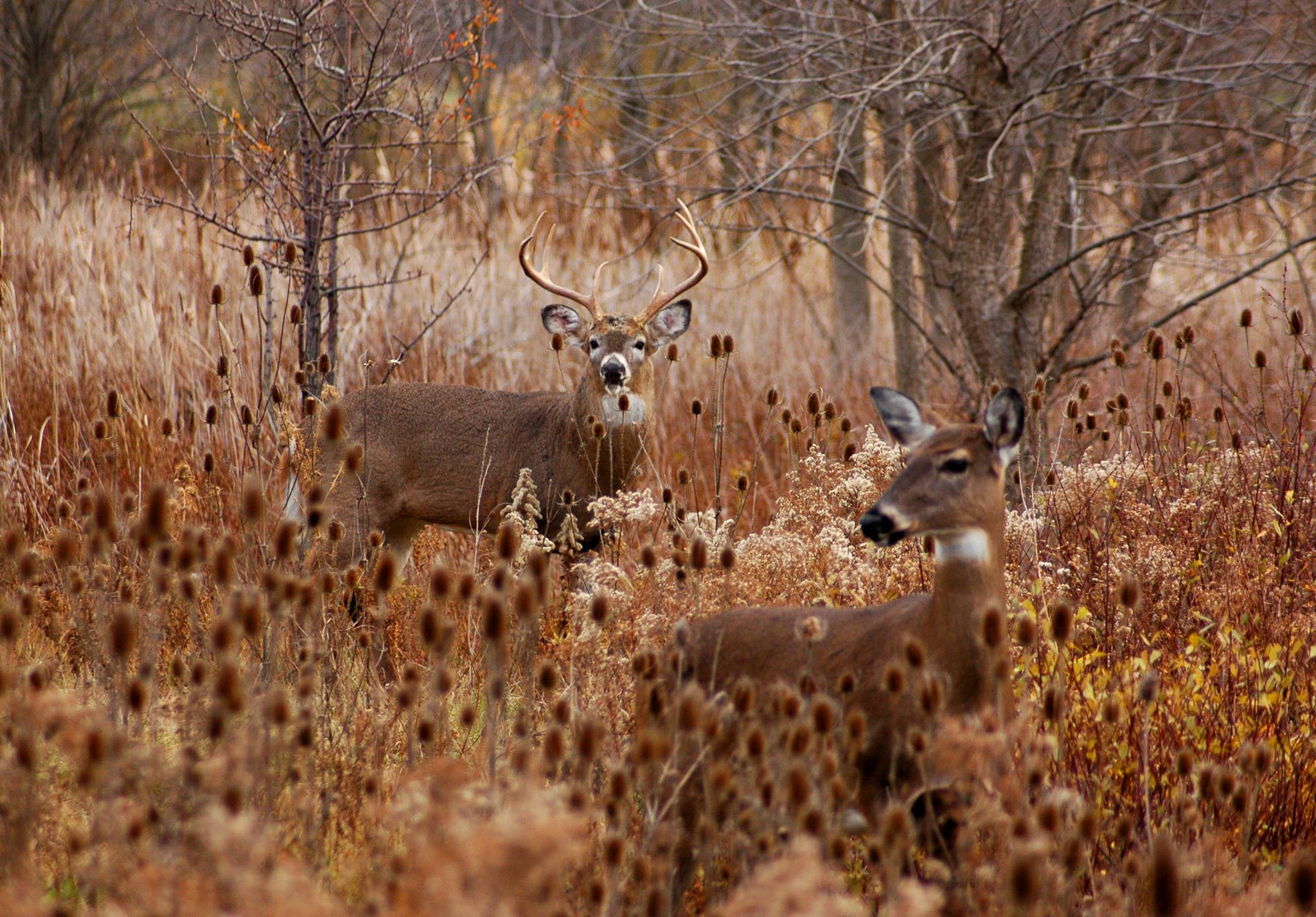 Archers get ready for the rut love is in the air as bucks seek out does wed oct 11 2017