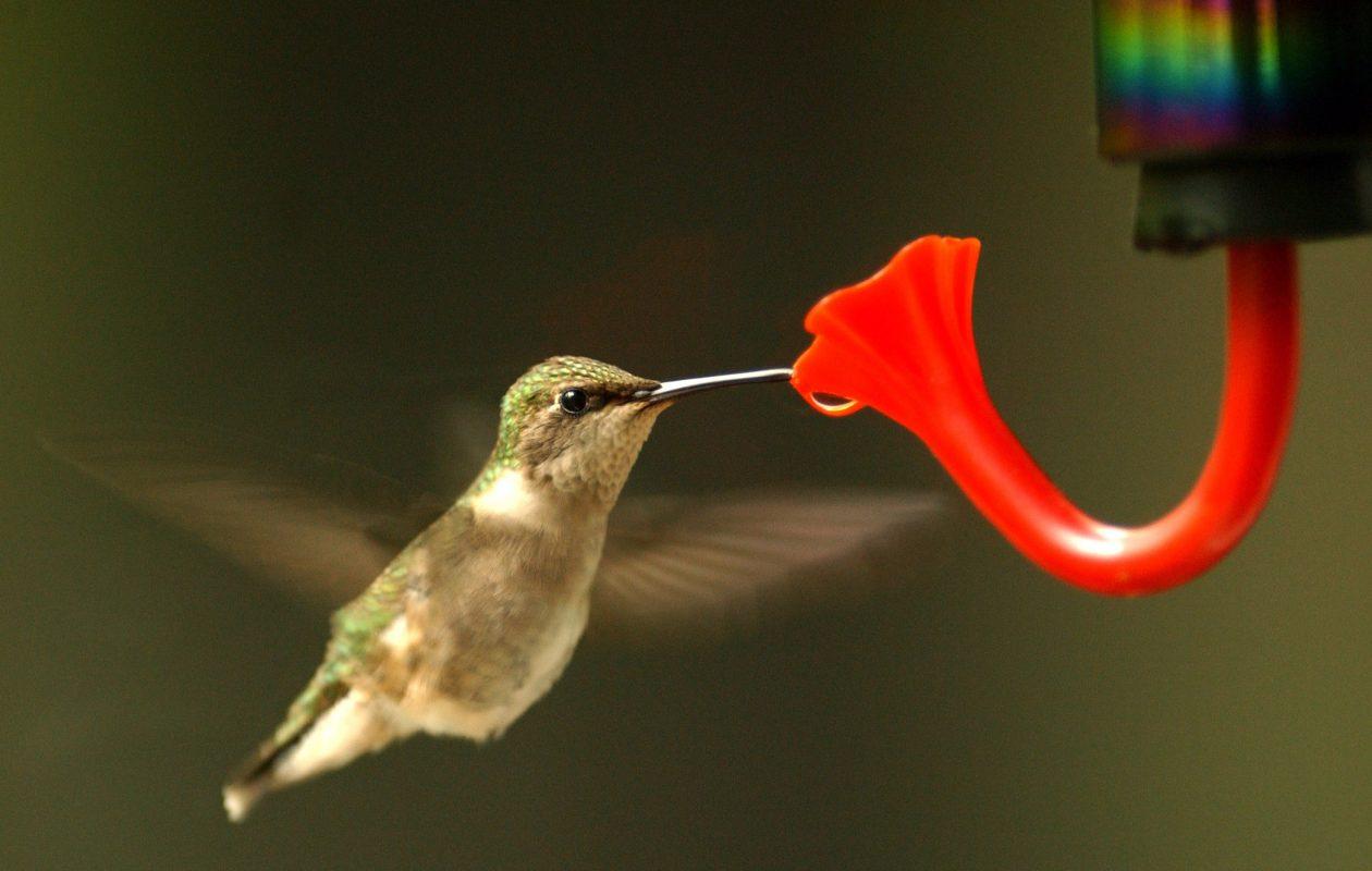Hummingbirds will be the topic at the Oct. 16 meeting of the Cheektowaga Garden Club.  (Robert Kirkham/News file photo)