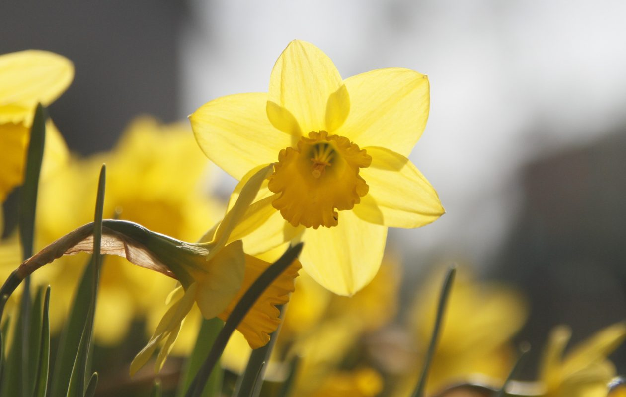 Spring-flowering bulbs, planted in fall, are easy to grow. Daffodils are a favorite, but there are many others to try. Sally Cunningham has suggestions and general planting tips. (John Hickey/Buffalo News file photos}