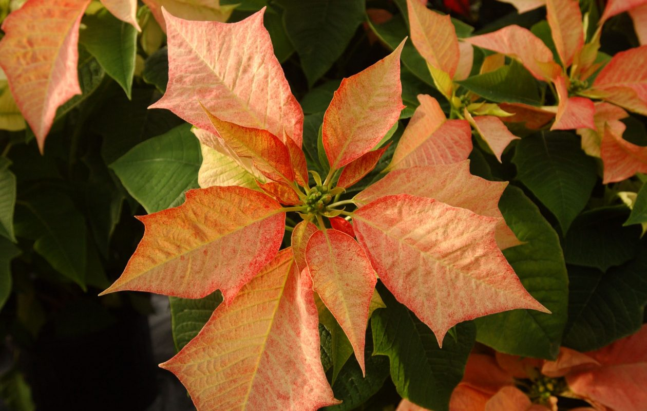 Garden club members are turning their attention to holiday decorating. (Sharon Cantillon/News file photo)